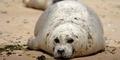 Populasi Menurun, Anjing Laut di Inggris Akan Dibekali Smartphone