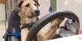 3 Anjing Selandia Baru Belajar Mengemudi Mobil Mini Cooper