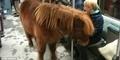 Wanita Jerman Bawa Kuda Poni Naik Kereta Bawah Tanah di Berlin
