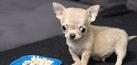 Toudi, Anjing Imut Terkecil di Dunia