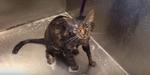 Kucing Protes Dimandikan Ngomong 'No More'