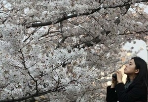 Cantiknya Bunga Sakura Mekar di Jepang