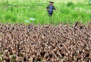 Jalanan di China Macet Akibat 5000 Bebek Lewat