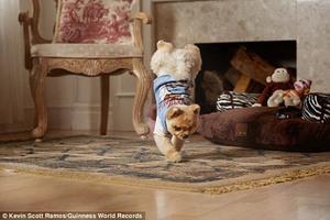Lucunya Jiff, Anjing Pemegang Rekor Berjalan 2 Kaki Tercepat