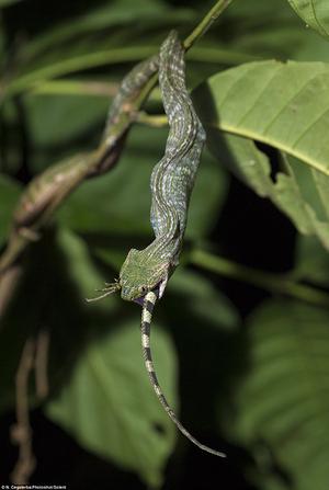 Ular Mungil Sumatera Telan Kadal Berukuran Jumbo