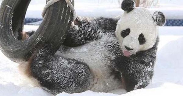Foto Kung Fu Panda Aksi Panda Qing Feng Bermain Salju