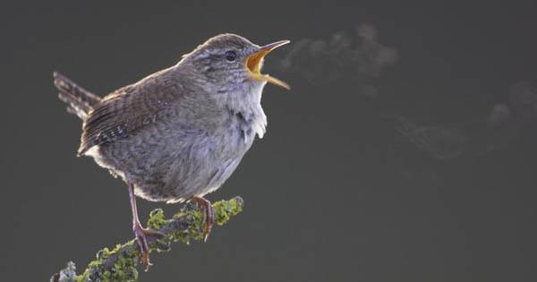 Binatang liar - burung wren mengisi udara musim semi dengan lagu pagi