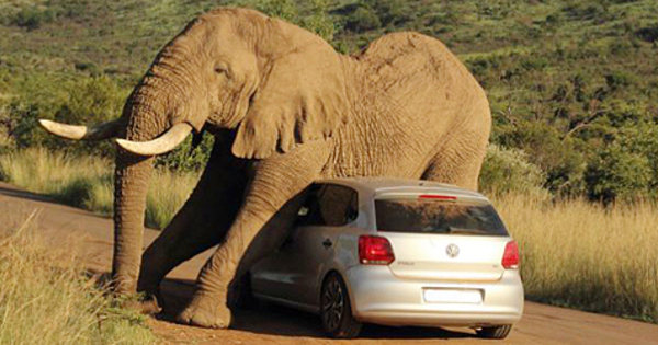 Konyol Gajah Afrika Asyik Menggaruk Badan Di Mobil Vw Polo